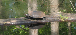 a turtle sunning itself on a log